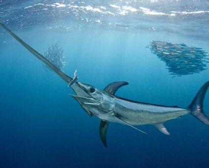 mơ thấy con cá kiếm